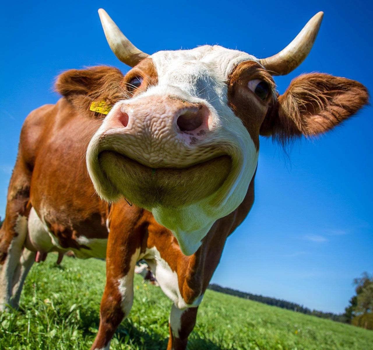Close up image of a cow